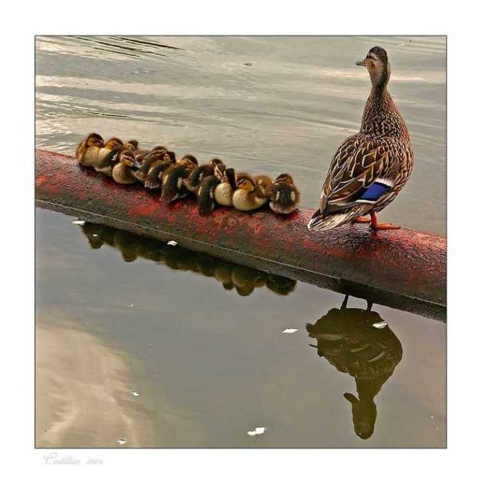 Lined Up Quick for a Click: The Quack Family