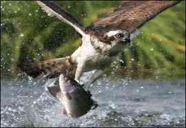 Eagle Clasped Fish