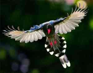 Formosan Magpie