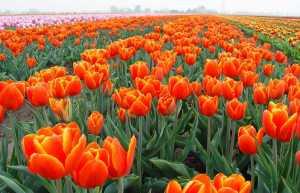 Bright Tulip Field