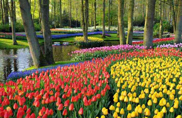 Colourful Tulips by the Lake
