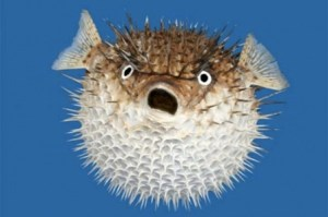Puffed-up puffer fish