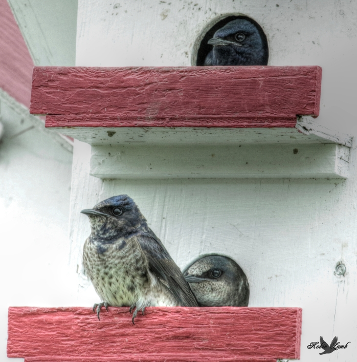 An adult Purple Martin looks out of his apartment while the kids downstairs wait for Mum to return with the bugs!